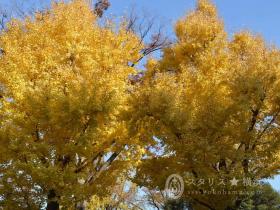 黄金色に輝く横浜山下公園イチョウ並木2018 山下公園のイチョウ並木は、海と空とのコントラストも手伝って、とても美しい人気スポットです。