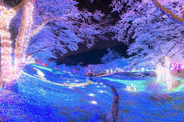 """関東最大級・2,500本が昼夜咲き誇る、桜の名所「さがみ湖桜まつり」3月21日より開催 さがみ湖で """"昼も夜も、1日中、桜三昧"""""""