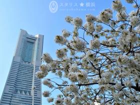 【汽車道】本物のレールを踏みしめながら、横浜お花見散歩を満喫