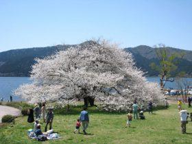 【箱根園】樹齢約100年、芦ノ湖のほとりに雄大に咲く桜 芦ノ湖畔のシンボル「湖畔の一本桜」が4月中旬に見頃を迎えます。 株式会社プリンスホテル 2020年4月6日 15時36分 ツイート はてな 素材DL ・・・ その他 メール Slack Talknote 箱根芦ノ湖畔 箱根園の大島桜が4月中旬に見ごろ迎えます。昨年は4/22に満開でしたが、今年は伊豆の河津桜も1週間早い開花となっており今年は4/15(水)頃の予想をしております。