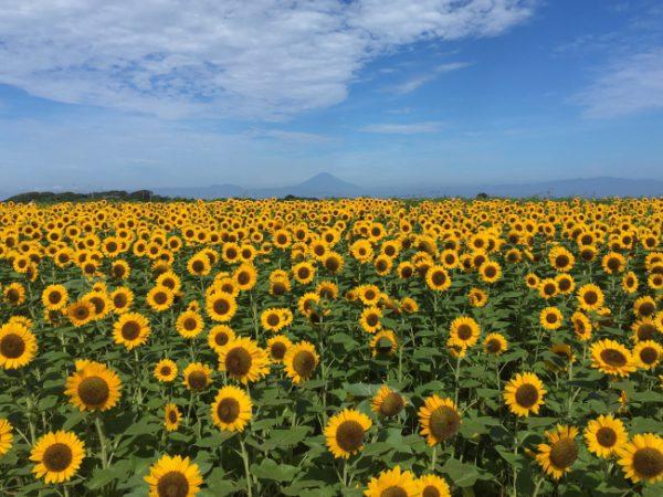 神奈川県横須賀市にある長井海の手公園 ソレイユの丘(指定管理者:長井海の手公園パートナーズ、代表企業:西武造園株式会社)では、2020年7月中旬から8月下旬にかけて約10万本のヒマワリが開花する予定です。夏休みシーズンに約5,000㎡の広大なヒマワリ花畑を、入園無料でお楽しみいただけます。